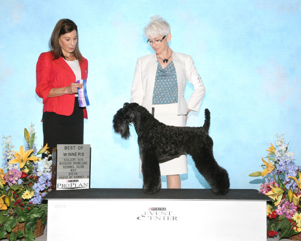 Judge Cindy Vogels awarded Stirling O'Hanluan WD & BOW for a 5-Point Major at Purina Farms 5/30/14.