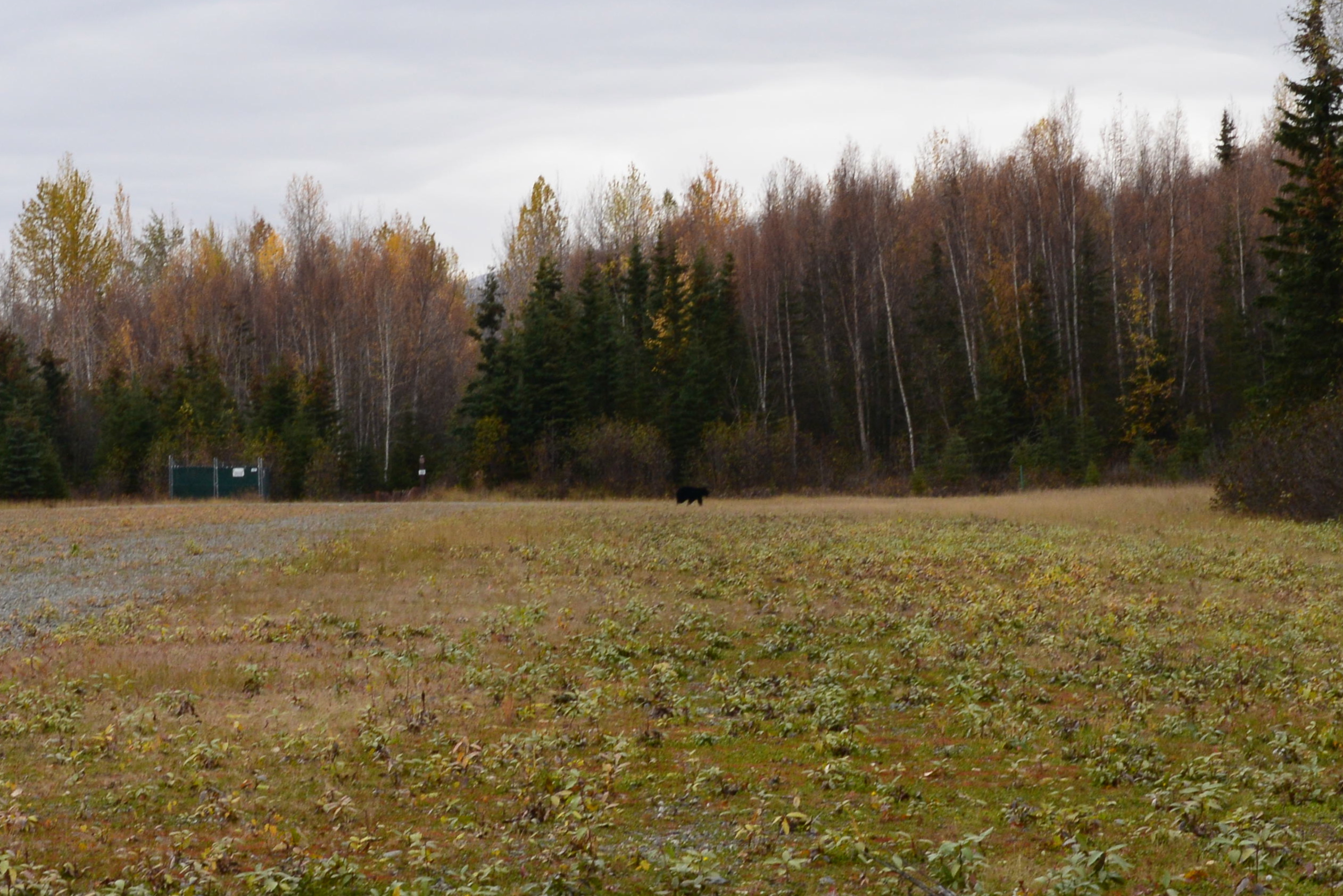 Black Bear at the north end of the Campbell Airstrip…  [Sunday]