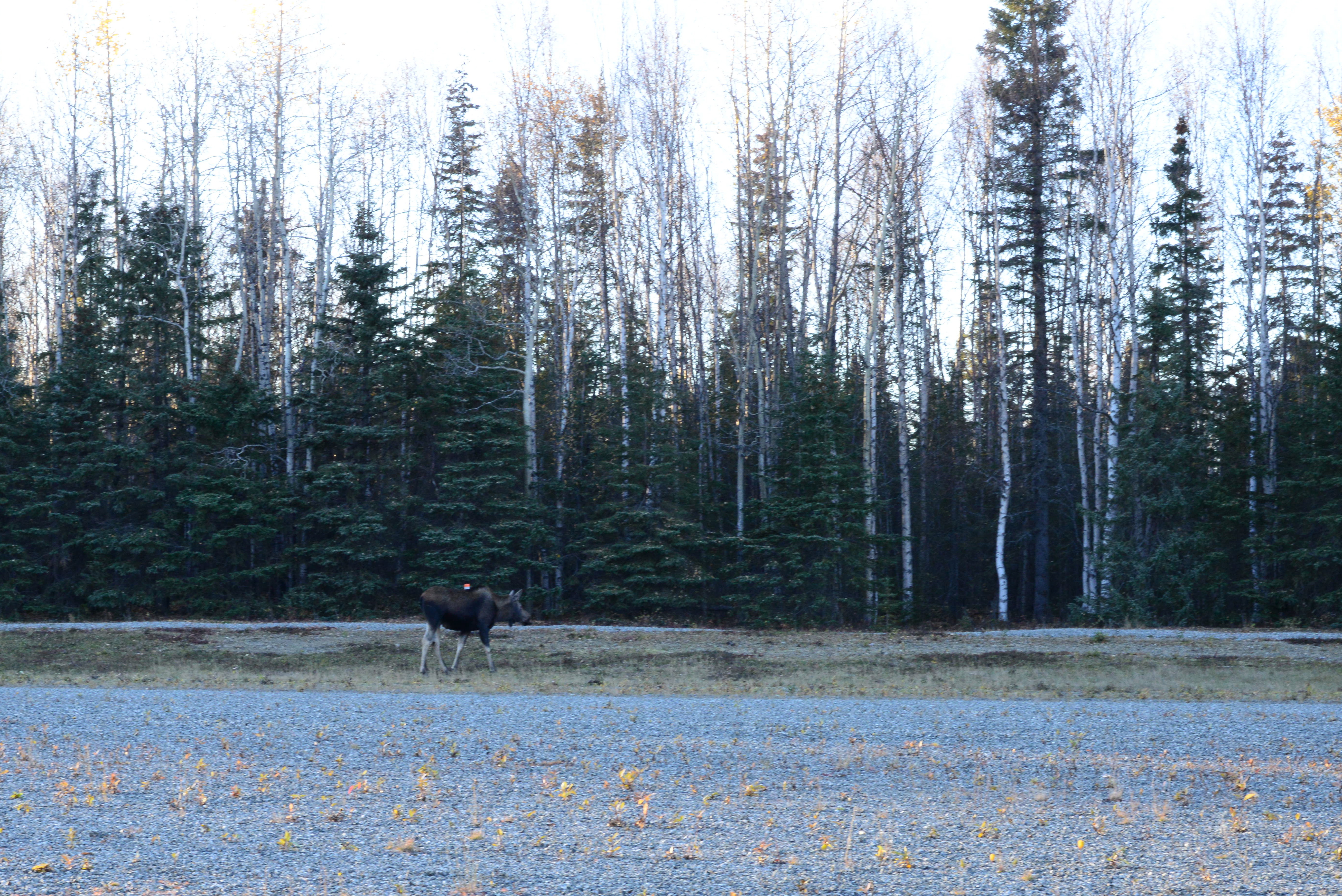 Moose on the west side of the Campbell Airstrip…  [Monday]
