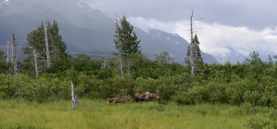 Moose & Calves