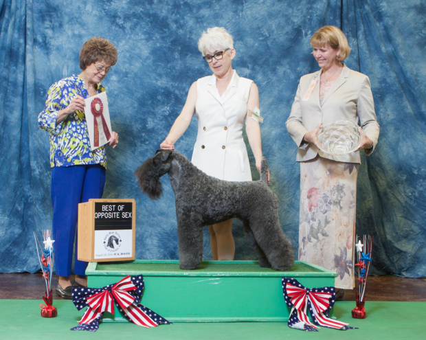 Judge Patricia Trotter awarded CH Stirling O'Hanluan BEST OF OPPOSITES for 4 Grand Champion points at the Kerry Blue Terrier Club of Chicago's Independent Specialty in St. Charles, Illinois on August 26, 2016.