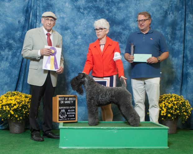 Judge Wayne Bousek awarded GCH Stirling O'Hanluan BEST OF BREED for 5 Grand Champion points at the Elgin Kennel Club All-Breed Dog Show in St. Charles, Illinois on August 27, 2016